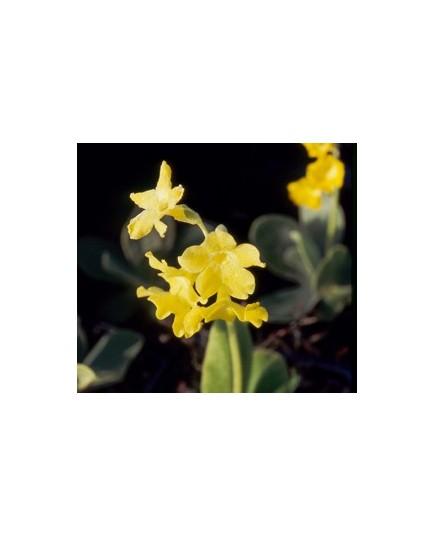 Primula pubescens - Primevère