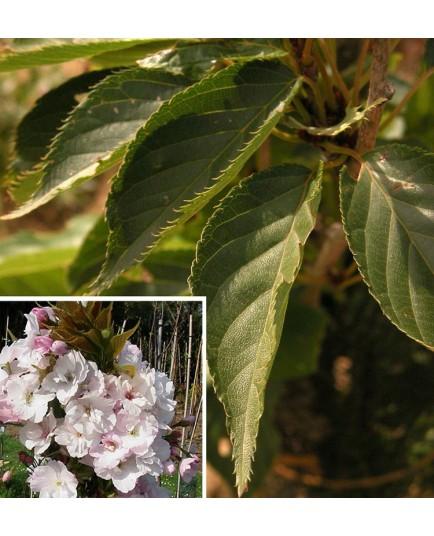 Prunus serrulata 'Amanogawa' - cerisier japonais fastigié