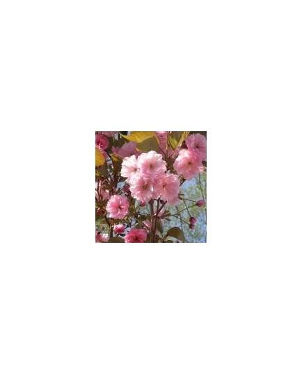 Prunus serrulata 'Kanzan' - cerisiers japonais,