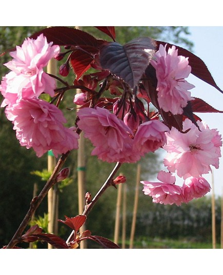 Prunus serrulata 'Royal Burgundy' - cerisiers japonais,