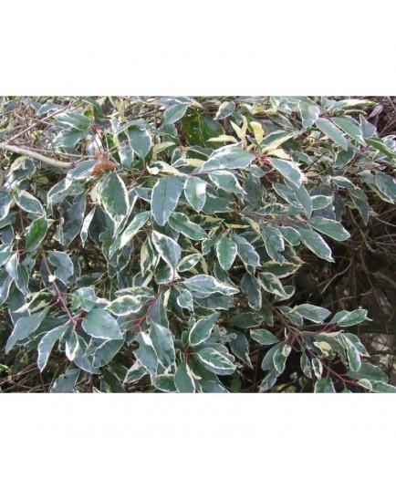 Prunus lusitanica 'Variegata' - Laurier du Portugal panaché