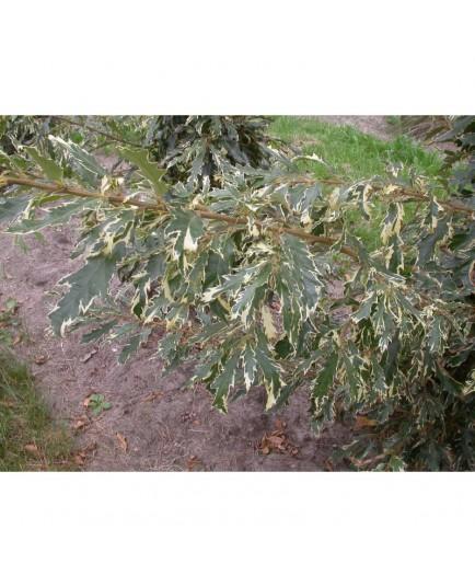 Quercus hispanica x 'Argenteovariegata' - Chêne panaché