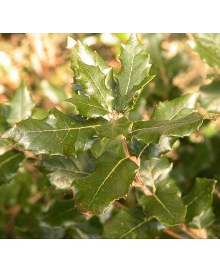 Quercus ilex -chênes verts, yeuses,
