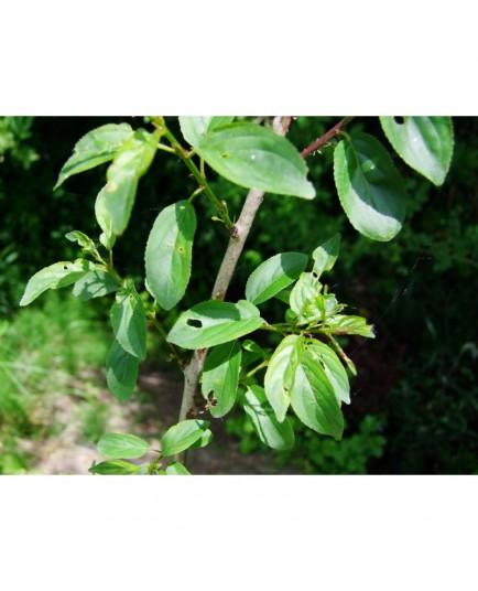 Rhamnus cathartica - Nerprun purgatif