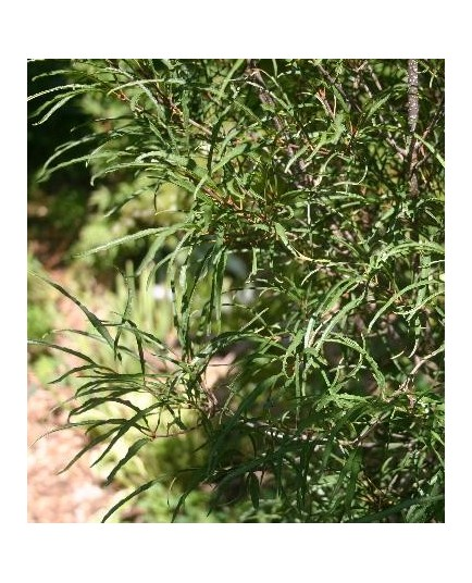 Rhamnus frangula 'Aspleniifolia' - Bourdaine à feuille laciniée