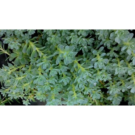 Rhodiola pachyclados - Sedum pachyclados