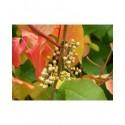 Rhus radicans subsp. rydbergii - sumac toxique, herbe à puces,
