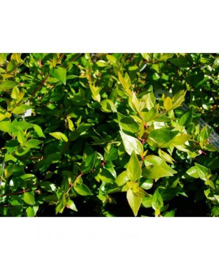 Aronia arbutifola