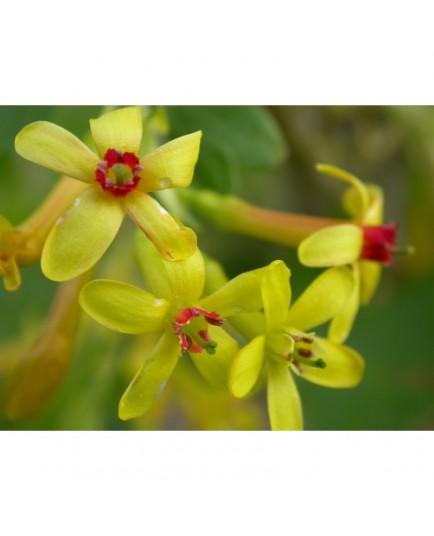 Ribes aureum -Groseiller doré ou groseiller odorant
