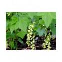 Ribes fasciculatum var.chinense - groseiller fleurs