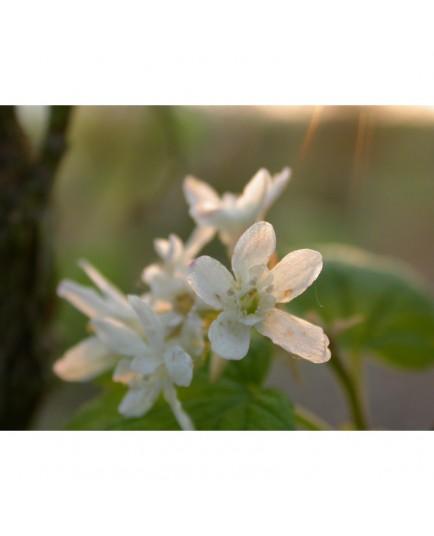 Ribes glutinosum - Groseiller blanc