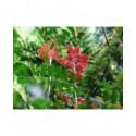 Ribes hirtellum - groseiller épineux