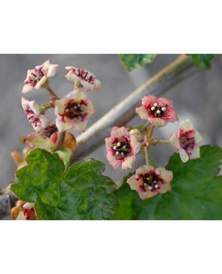 Ribes laxiflorum - groseiller à fleurs lâches