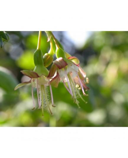 Ribes niveum - groseiller épineux
