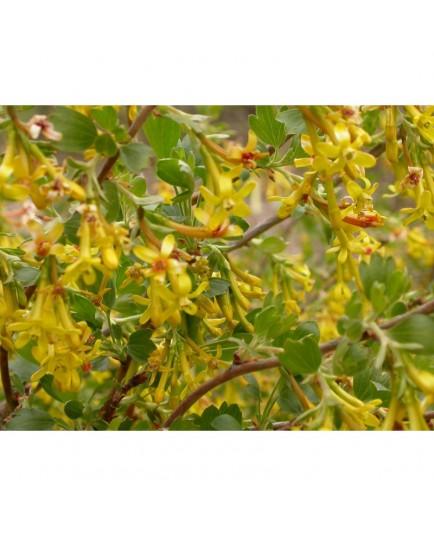 Ribes odoratum 'Fuma' - groseiller doré