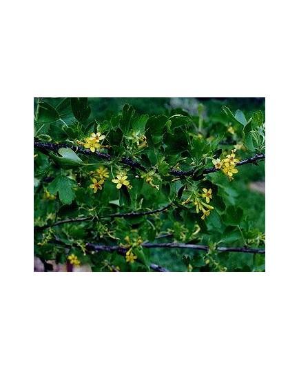 Ribes odoratum - Groseiller odorant