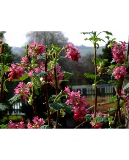 Ribes sanguineum  'Amore'® - groseiller fleur