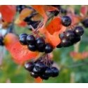 Aronia prunifolia x 'Viking'