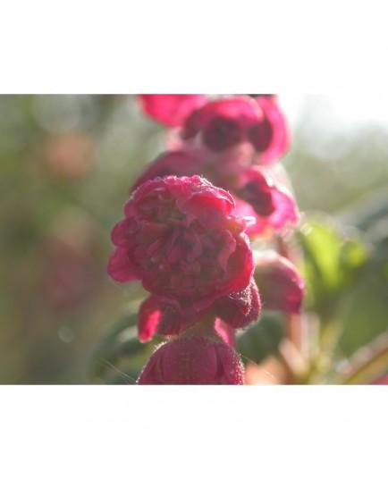Ribes sanguineum 'Flore Pleno'