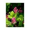 Ribes sanguineum 'King Edward VII' - faux cassis, groseilliers sanguins, groseillers à fleurs,