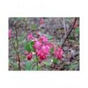 Ribes sanguineum 'Koja' -Groseiller fleur