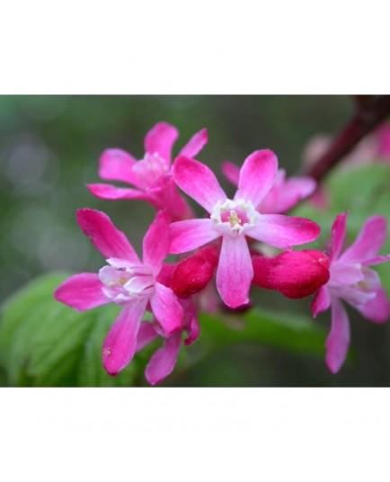 Ribes sanguineum 'Pulborough Scarlet' - groseiller fleur
