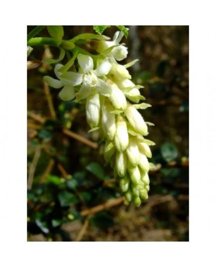 Ribes sanguineum 'White Icicle' - groseiller à fleurs blanches