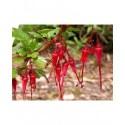 Ribes speciosum - Groseillier fuchsia
