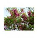 Robinia margaretta x 'Pink Cascade' - acacia rouge