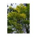 Robinia pseudoacacia 'Frisia' - acacia doré, robiniers faux acacia,