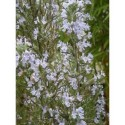 Rosmarinus officinalis 'Mrs Jessopp's Upright' - Romarin érigé