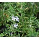 Rosmarinus officinalis 'Prostratus' - Lamiaceae - Romarin Rampant