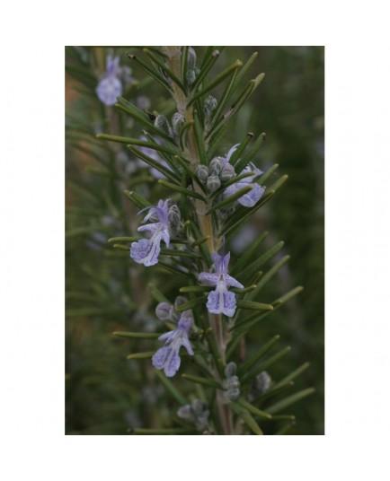 Rosmarinus officinalis 'Sudbury Blue' - Romarin