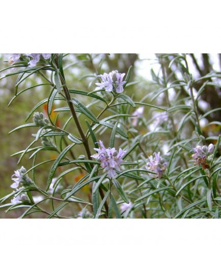 Rosmarinus officinalis -Romarin