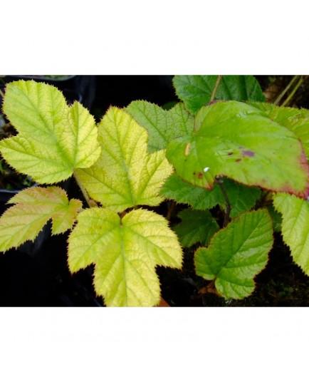 Rubus 'Kenneth Ashburner'