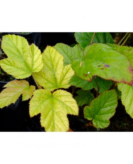 Rubus 'Kenneth Ashburner'