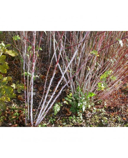 Rubus cockburnianus - ronce à bois blanc