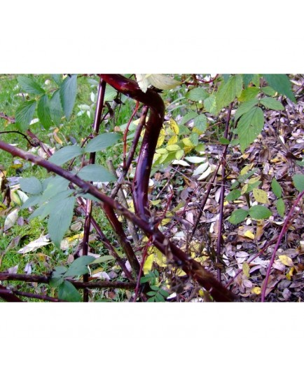 Rubus coreanus 'Dart's Mahogany' -ronce décorative