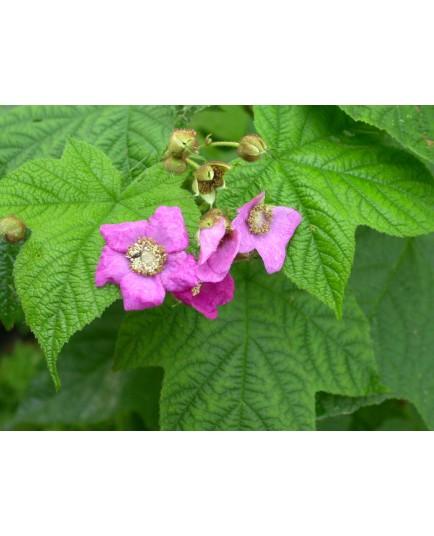 Rubus odoratus - Framboise d'ornement, ronce odorante