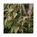 Rubus thibetanus -ronces du Tibet,