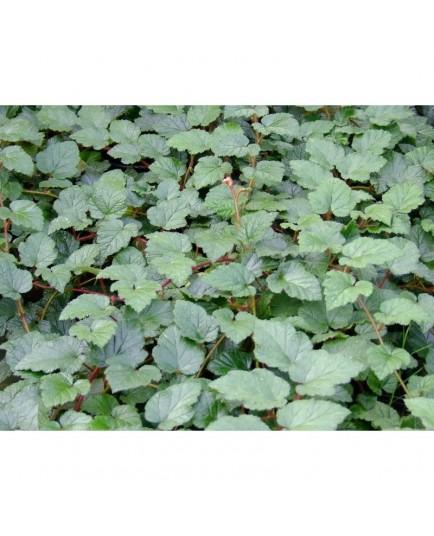 Rubus tricolor - Ronce couvre sol