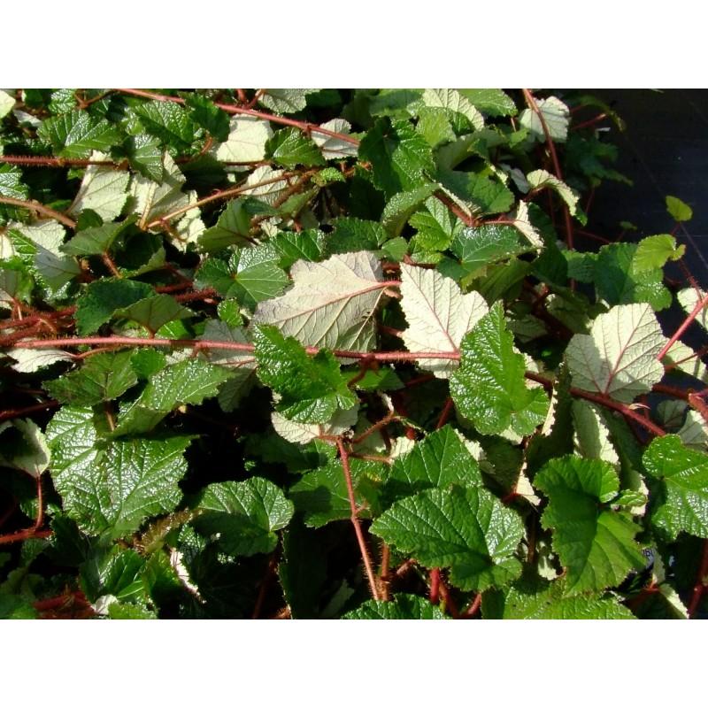 couvre sol rapide best plante couvre sol persistant plantes pour lombre sache arbuste couvre. Black Bedroom Furniture Sets. Home Design Ideas