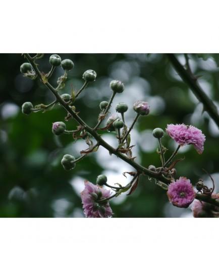 Rubus ulmifolius 'Bellidiflorus' - Ronce à fleur de pâquerette