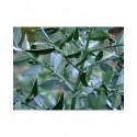 Ruscus aculeatus - fragon petit houx