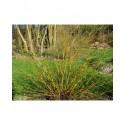 Salix 'Prairie Cascade' - Saule pleureur de Niobe