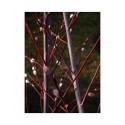 Salix acutifolia 'Lady Oldenham' - Saule de la Caspienne