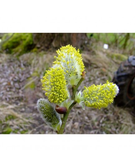 Salix aegyptiaca - Saule de Perse