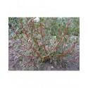 Salix alba 'Chermesina' -Saule à bois rouge