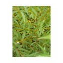 Salix alba 'Jaune de Falaise' - Saule blanc à bois jaune