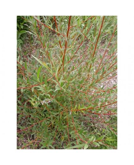 Salix alba 'Liempde' - Saule blanc